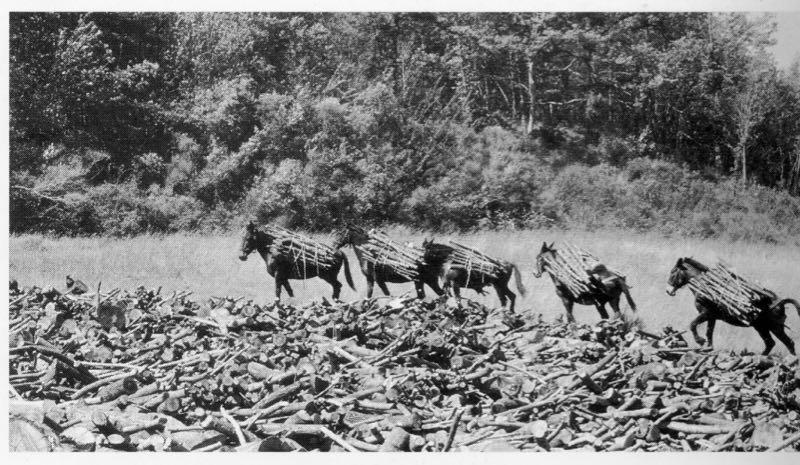 Trasporto di legna da parte dei muli